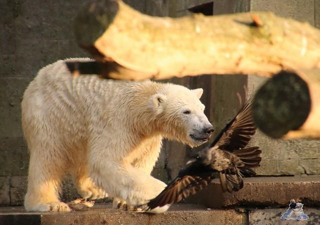 Eisbär Fiete im Zoo Rostock  0287