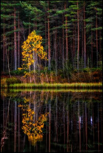 tree träs skog forest yellow gul golden gyllene höst autumn fall ruska lake sjö refection spegling sandåsen jeppis pedersöre gräs grass foliage lövverk stammar trunks vatten water