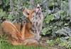 Young Urban Fox. by wurzel.pete.1.8 Million views,Thanks.