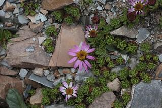 Waldheimia tridactylites (Asteraceae)
