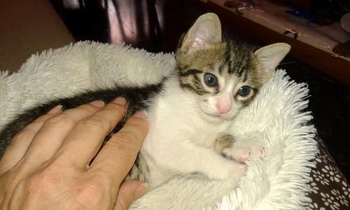 FALLECIDO- Marvel, gatito blanquipardo bebé en Adopción Especial, nacido en Junio´15, en adopción. Valencia. 20495799246_93fee0c638
