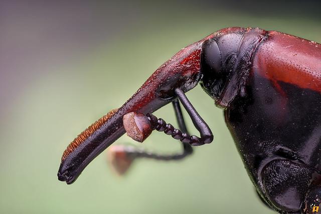 Rhynchophorus ferrugineus ♂
