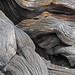 Intermountain Bristlecone Pine (Pinus longaeva) by Ron Wolf