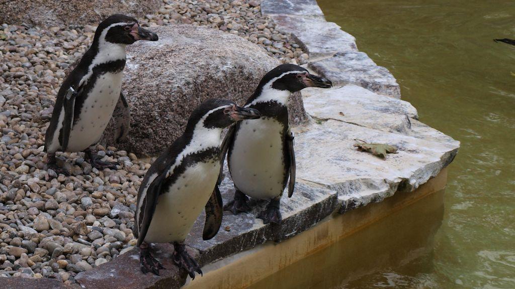Luisenpark Mannheim: Pinguine