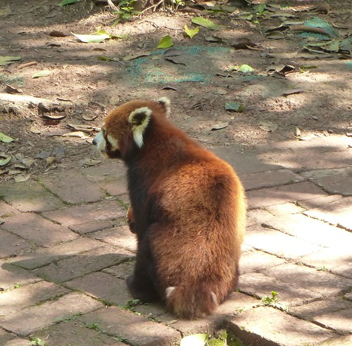 CH-Chengdu-Panda-roux (3)