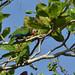 Small photo of Amazona leucocephala