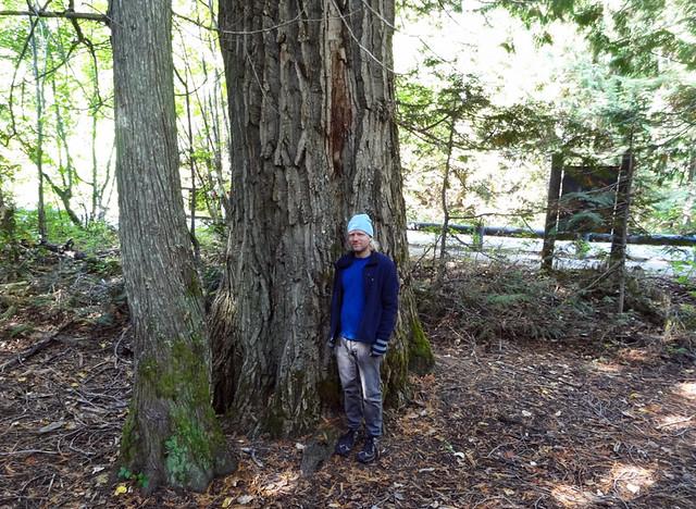 cedar-hemlock-tree