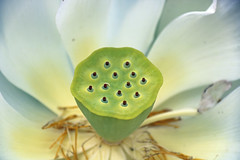 Fruit of Nelumbo nucifera