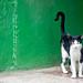 gatito en la habana vieja