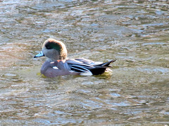 American Wigeon at Colonial Park