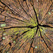 Stump Scars by FotoGrazio