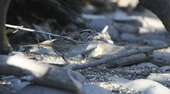 White-thoated Sparrow 2016-11-08 �Kevin S Lucas