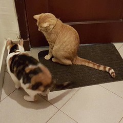 Planning their escape #CaptionThis #rescuecats #Sasscat #Stoney #gingertabby #calico #SasscatStoneyAndSenaShow #adoptdontshop #catsofinstagram #catsoninstagram #instacats