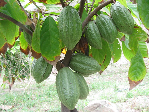 Picture 7- cacao