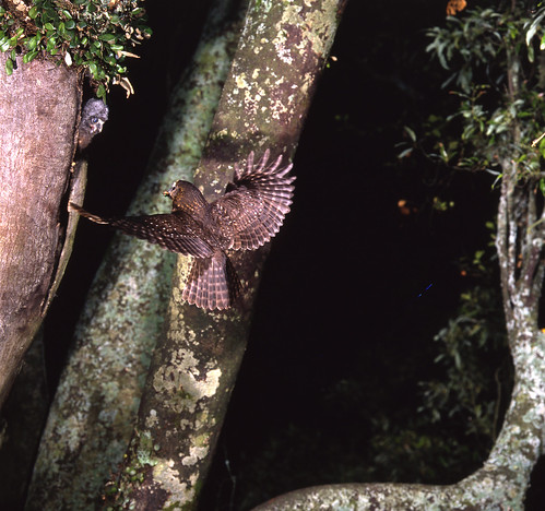 Morepork bringing food back to its young in the ne...