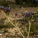 Bloodroot (Haemodorum planifolium R.Br.) by [S u m m i t] s c a p e
