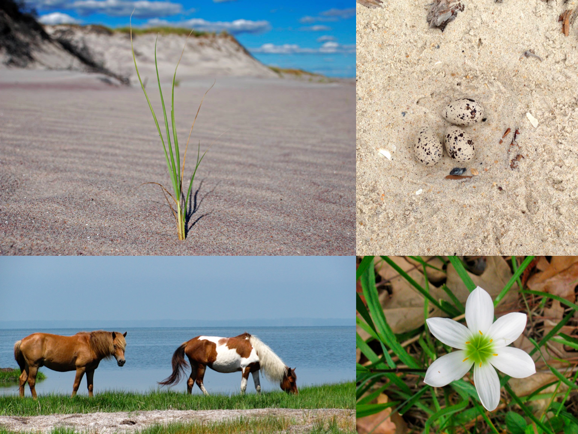 Park scientists are recording the elevations of important places in coastal parks, including natural resources and coastal habitats where wildlife and vegetation thrive. NPS photos/American oystercatcher eggs, D. Filippini; wild ponies, R. Baranowski; Atamasco lily, S. Stevens.