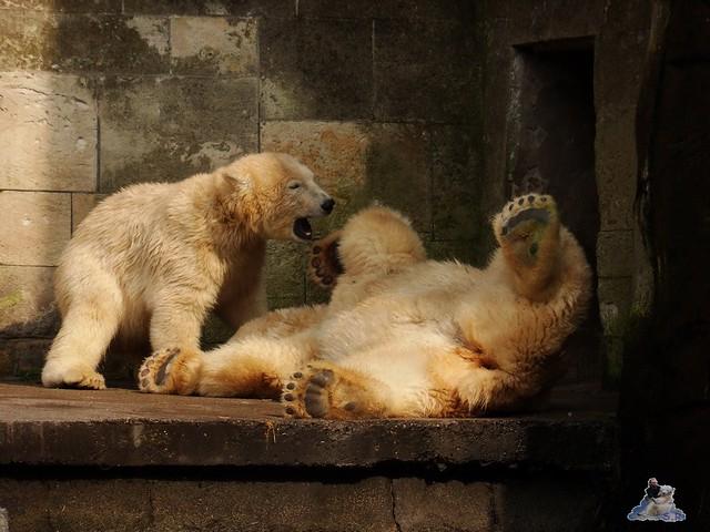Eisbär Fiete im Zoo Rostock 15.08.2015 Teil 3 015