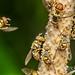 Fruit fly (Bactrocera sp.) - DSC_3072 by Patrick Chong KS