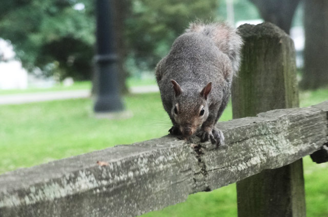 gray-squirrel-fence
