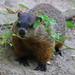 Groundhog by RickykcWong