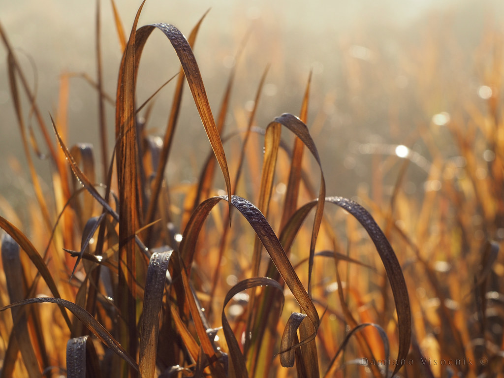 Morning light on blade grass_c