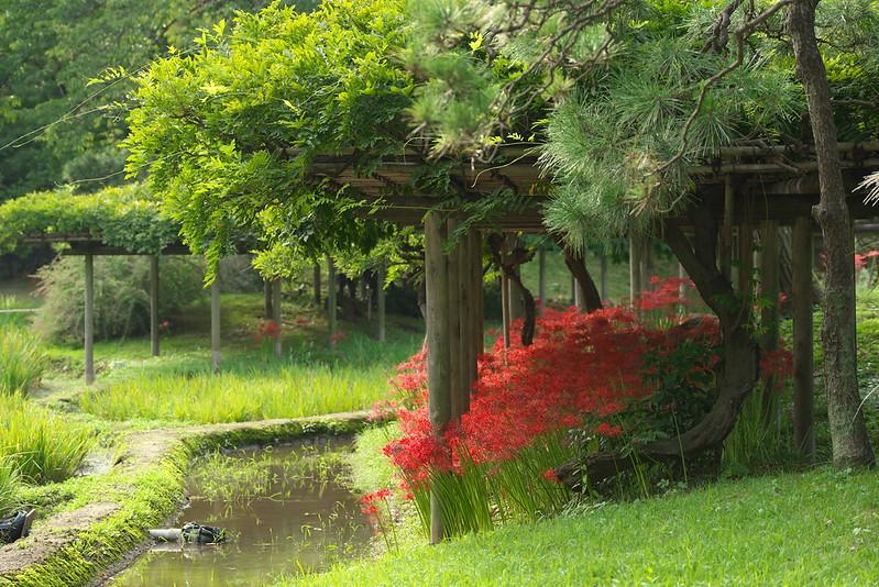 小石川後楽園の曼珠沙華 2015年9月21日