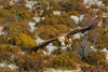 Buitre leonado / Griffon vulture / Gyps fulvus