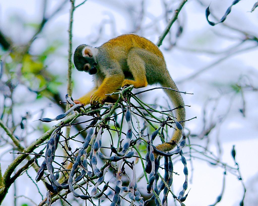 10_Black-capped Squirrel Monkey (Saimiri boliviensis)_34