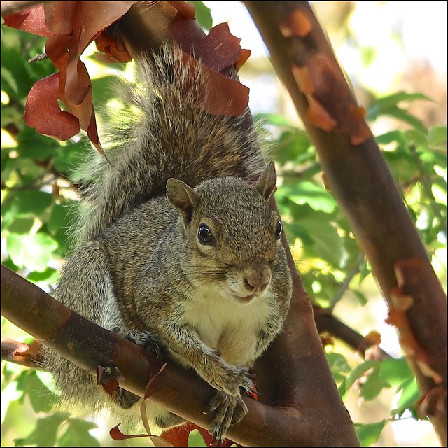 Urban Wildlife, Squirrel