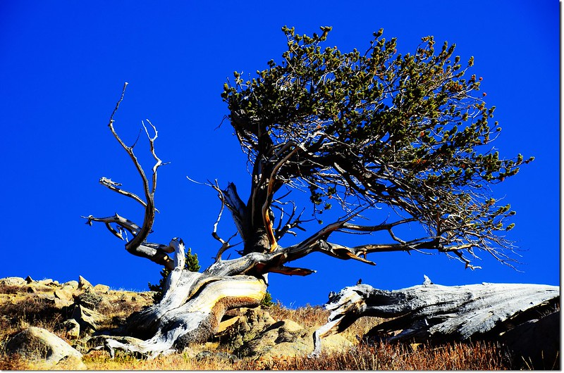 Dry tree & Bristlecone pines
