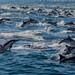 Dolphin Pod by fascinationwildlife