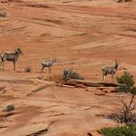 Big Horn Sheep family, Zion