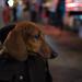 DSC_7843 A dog in a bag by rose.vandepitte
