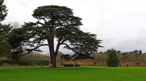 Splendid tree, Tredegar house