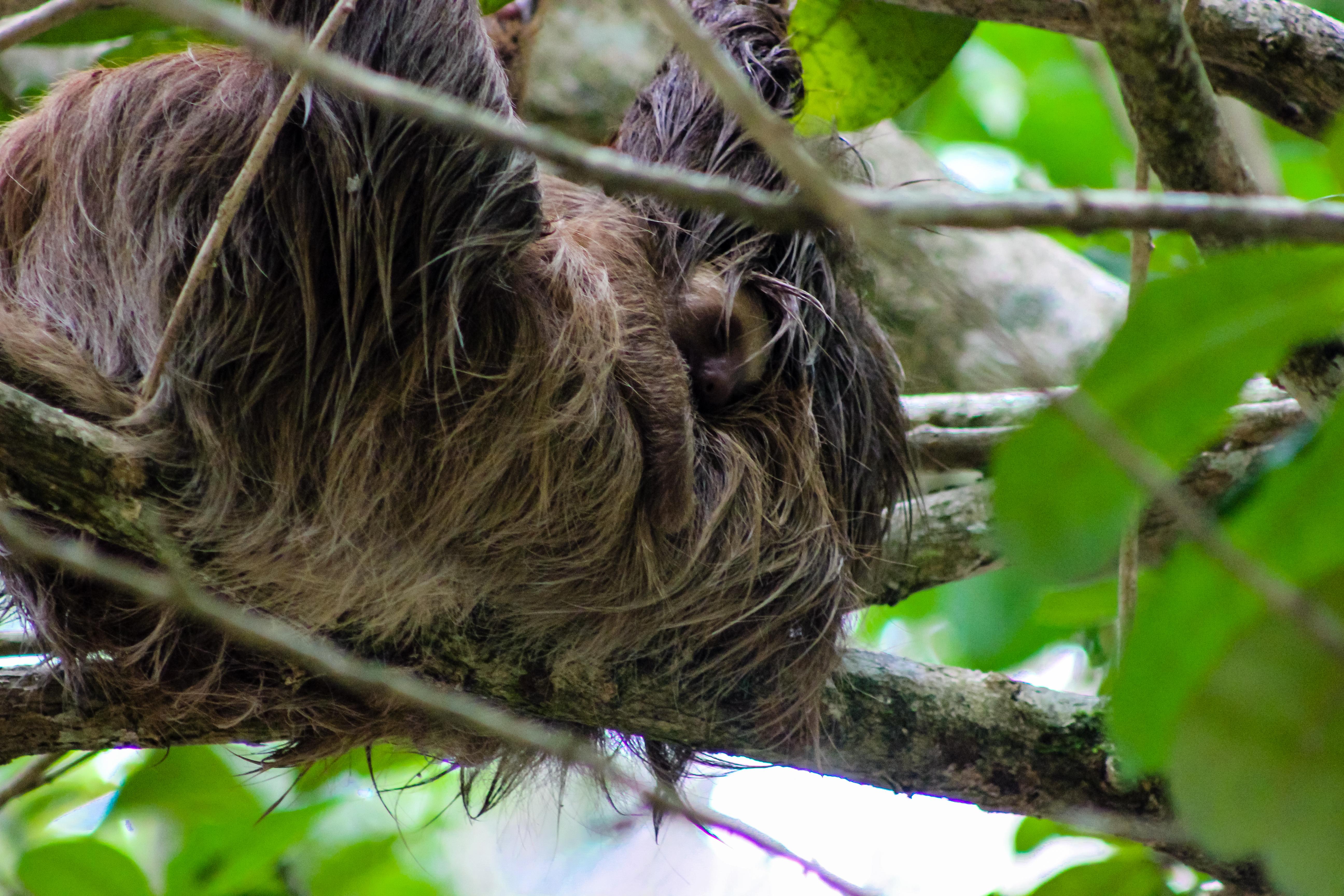 Costa Rica Sloth-3239