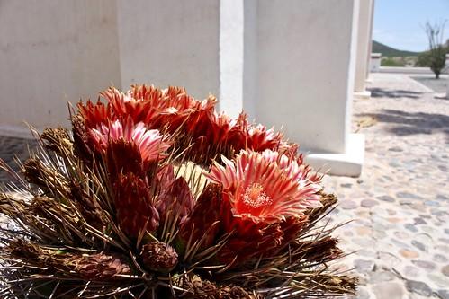 flowers cactus church sonora mexico mission spanishcolonial caborca canonefs1855mmf3556is canoneosdigitalrebelxs