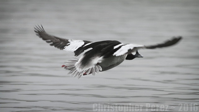 Bufflehead Duck ~ looking back