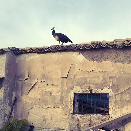 #pavoreal #cortijo #spain #andalucia