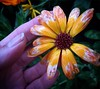 petaled finger