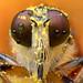 แมลงวันหัวบุบ / Robber Fly by bug eye :) Thailand
