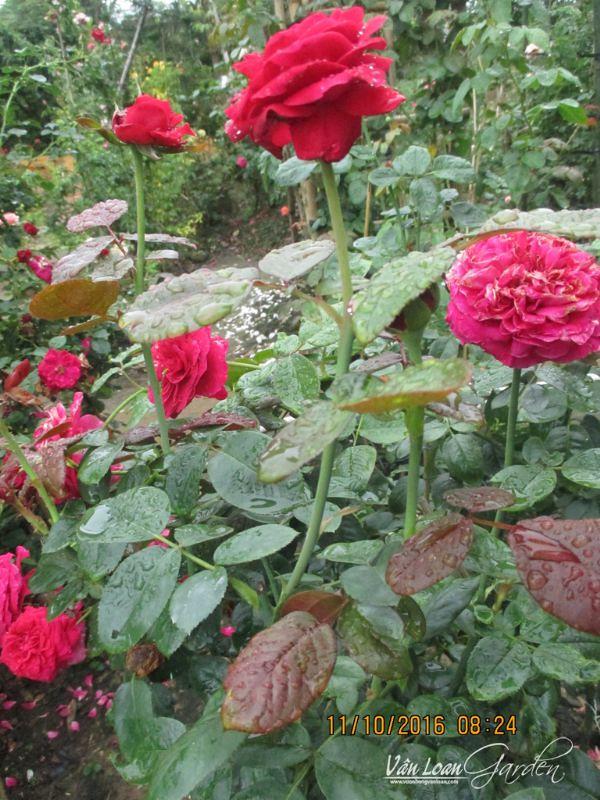 Hoa hong ngoai Rouge Royale Rose (12)-vuonhongvanloan.com
