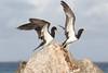 Brown booby birds