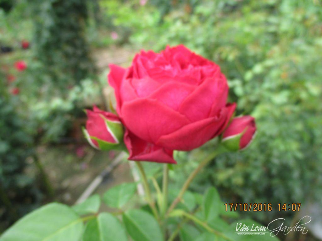 Còn những chùm hoa hồng Red Eden ở phần ngọn cây hay có form hoa hình trứng và thường cho hoa thành từng chùm nhỏ
