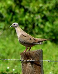 Zenaida auriculata / Eared Dove / Paloma Sabanera.