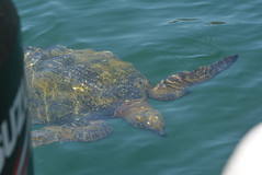 green turtle at the stern