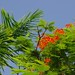 Small photo of Flamboyant Tree
