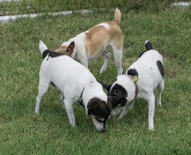 Rat Terrier Triangle