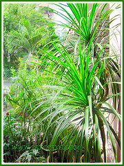 Dracaena marginata (Madagascar Dragon Tree) as a specimen plant in our garden, Aug 8 2015