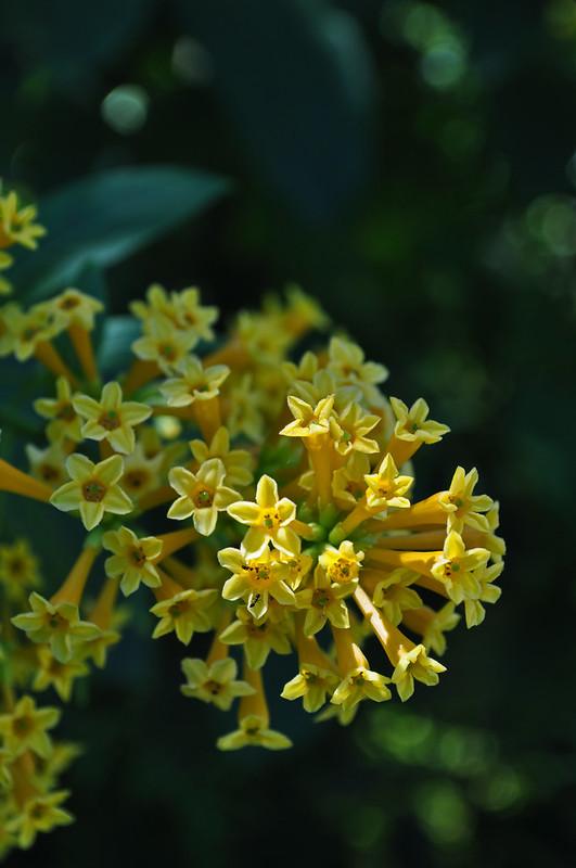 Cestrum aurantiaum 'Orange Zest'  (2)